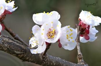 flors de prunera