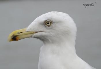 gavina - Holanda