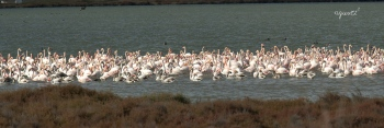 Flamencs al Delta d'Ebre hivernant
