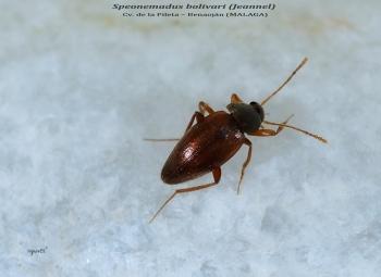Speonemadus bolivari (Jeannel) - Cv. de la Pileta Benaoján (MALAGA)