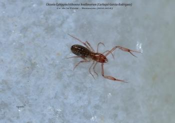 Chtoniu Ephippiochthonius boullonorum - Cv. de la Pileta Benaoján (MALAGA)