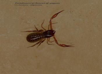 Pseudoescorpi Roncus af. pugnax- cova Furonera Ulldemolins - COMARCA DEL PRIORAT