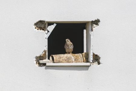 Falco tinnunculus.  Cernicalo vulgar.