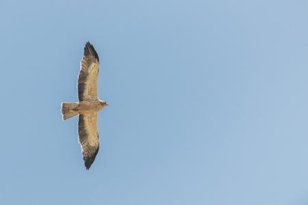 Aquila pennata.  Aguila calzada