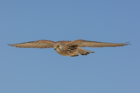 Falco naumanni. Cernicalo primilla