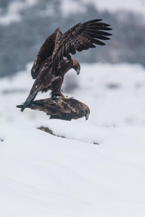 Aquila chrysaetos.  Aguila real