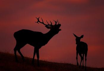 Ciervos amanecer