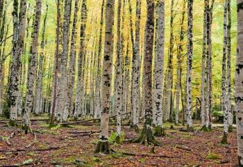 Bosque otoñal en Ordesa.