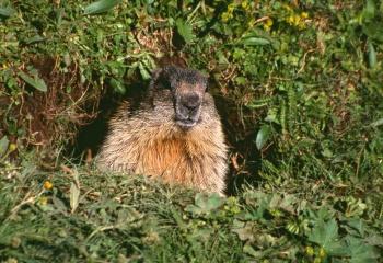 Marmota en la entrada de la madriguera