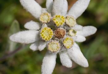 "Edelweiss o flor de nieve - ""Leontopodium alpinum"""
