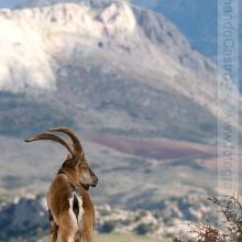 34-Cabra montés (Capra pyrenaica)
