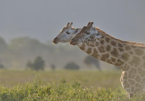 Africa/Massai Mara