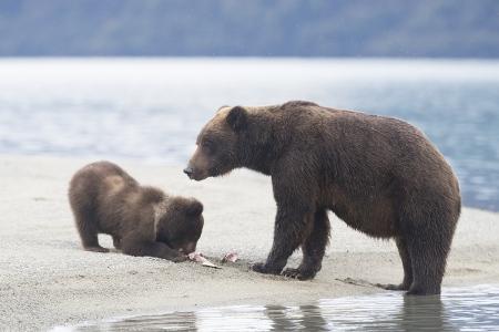 Alaska-Oso Pardo-(Ursus Arctos)