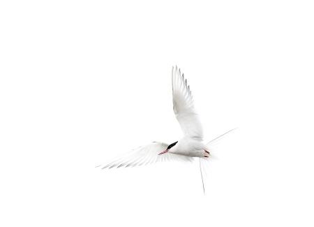 Svalbard Charran Artico-Arctic Tern-(Sterna paradisaea)