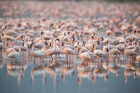 Flamenco Enano-(Lesser flamingo)-Phoeniconaias minor