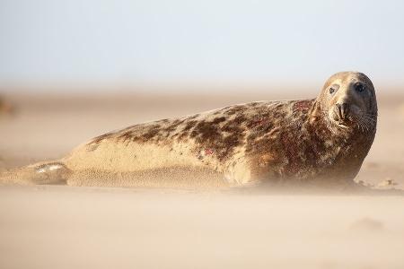 Foca Gris-Grey seal-(Halichoerus grypus)