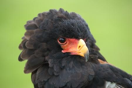 Aguila Volatinera (Terathopius ecaudatus)