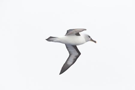 Albatros de ceja negra- Black-Browed Albatross- (Thalassarche melanophrys)