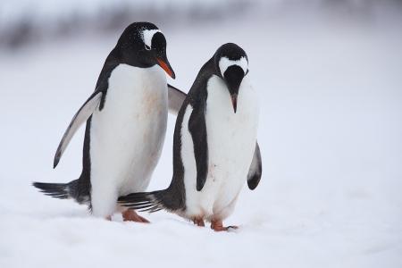 Pinguino Juanito - Gentoo penguin - (Pygoscelis papua)