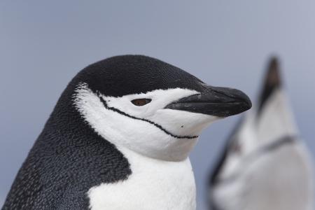 Pinguino Barbijo - Chinstrap penguins - (Pygoscelis antarctica)