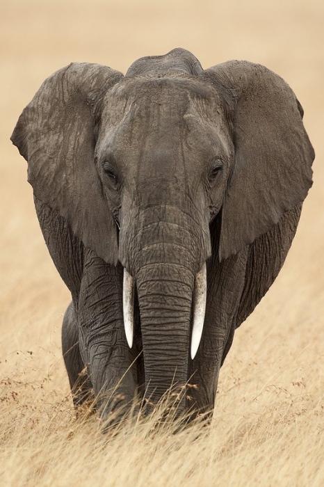 Elefantes Africanos-African Elephant-(Loxodonta africana)