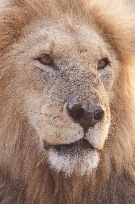 Leon-Lion-(Panthera leo) MasaiMara