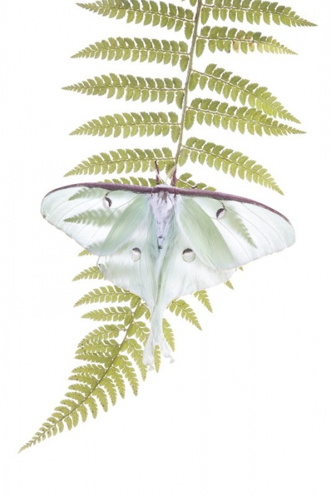 Mariposa Luna-Luna Moth-(Actias luna)