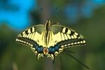 Papilio Macaón