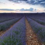 Lavender Way