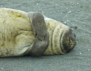 Elefante marino - Salisbury Plain - Juan Abal