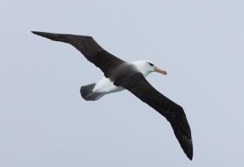 Albatros de ceja negra- Mar de Escocia - Yolanda Moreno