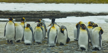 Pingüinos rey - Salisbury Plain - Juan Abal