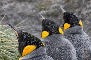 Pingüinos rey - Salisbury Plain - Yolanda Moreno
