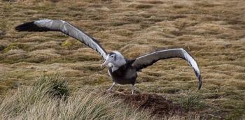Albatros errante joven - Prion island - Juan Abal