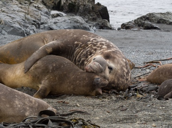 Elephant seals mating - Prion island - Juan Abal