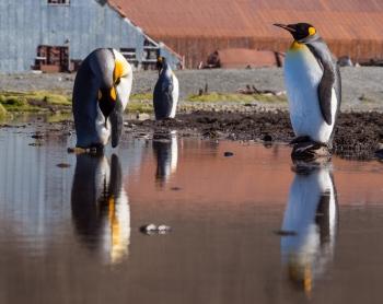 Pingüinos rey - Stromness harbour - Juan Abal
