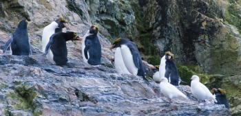 Pingüinos macaroni - Hercules bay - Yolanda Moreno