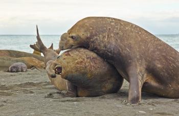 Elefantes marinos - Salisbury Plain - Juan Abal