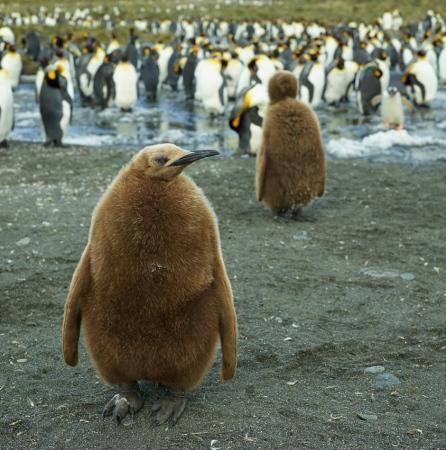 Joven de pingüino rey - Salisbury Plain - Juan Abal