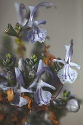 ROMERO. Rosmarinus officinalis.
