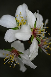 ALMENDRO ASILVESTRADO. Prunus dulcis.