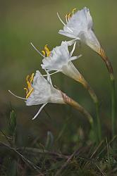 NARCISO BLANCO. Narcisus cantabricus.