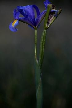 LIRIO. Iris xiphium. Iridáceas. Becerril de la Sierra. Junio 2010.