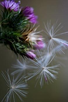 CARDO SERRANO. Carduus carpetanus. Asteraceas. Becerril de la Sierra. Junio 2010.