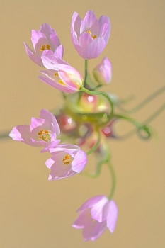 AJO SILVESTRE. Allium oleraceum. Liliáceas. Sierra do Caldeirao. Algarve. Abril 2008.