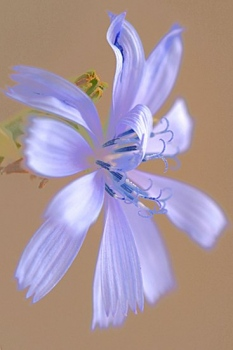 ACHICORIA. Cichorium imtybus. Asteráceas. Rio Velez. La Parroquia. Septiembre 2008.