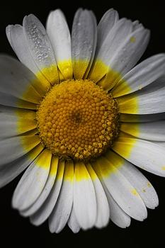 CRISANTEMO PALIDO. Leucanthemopsis pallida.