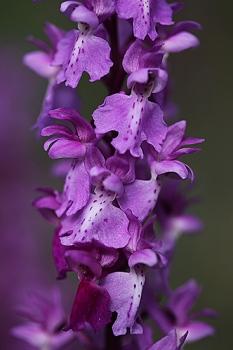 SATIRION MANCHADO. Orchis mascula. Orchidaceae.