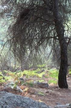 Pinus uncinata. La Pedriza. Septiembre 2011