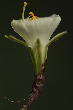 NARCISO. Narcissus bulbocodium. Amarilidáceas.